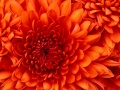 chrysanthemum_120