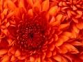 chrysanthemum_120